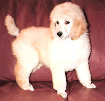 Khalsa Permanent Registered Standard Poodles Ckc Registered