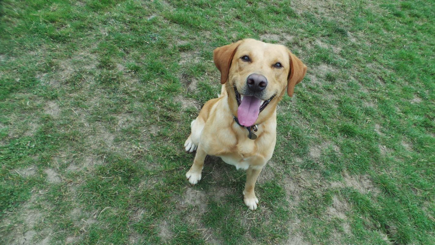 Adopt A Dog Cooper Labrador Dogs Trust Dogs Labrador Dog