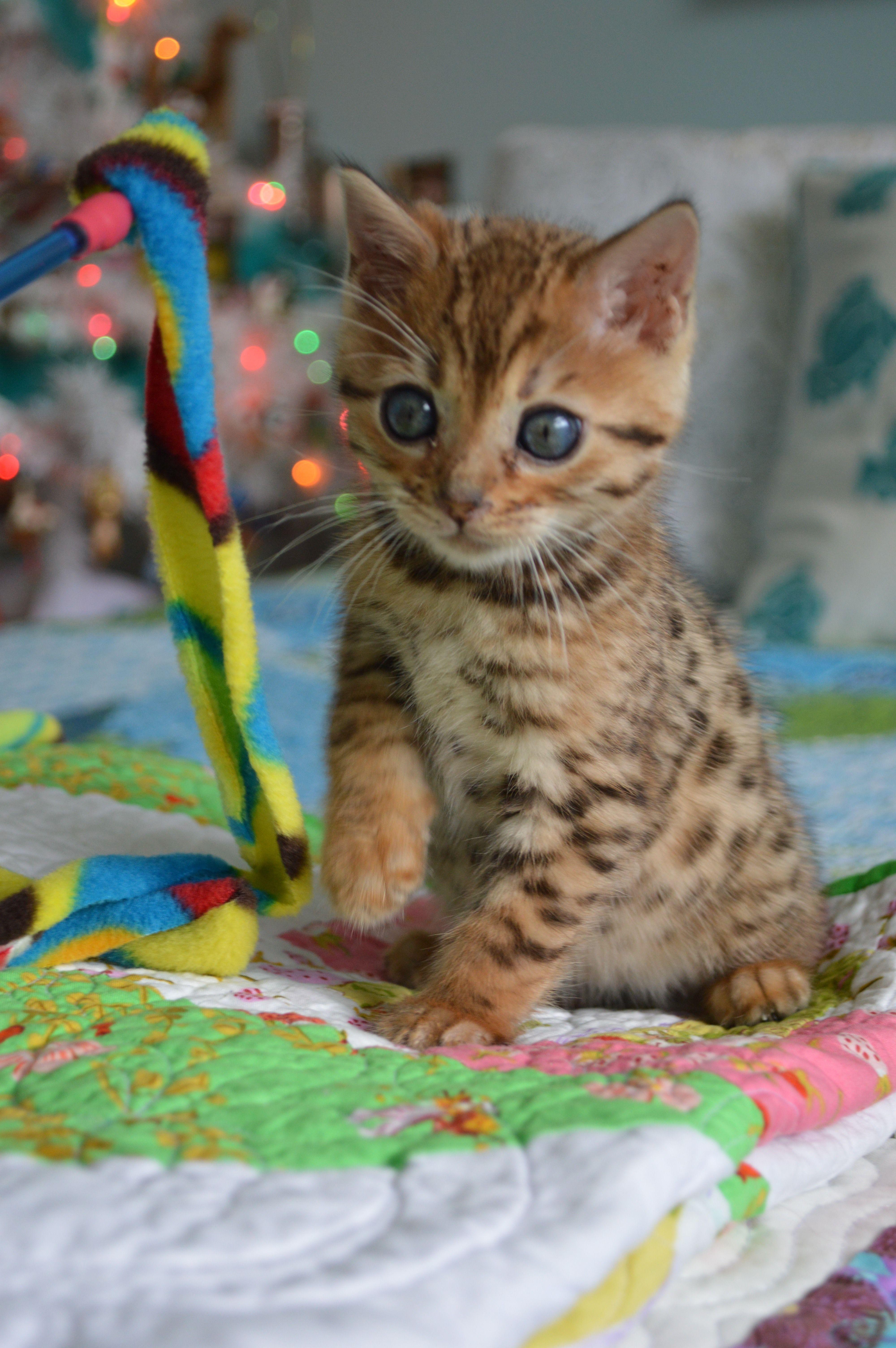 Our New Bengal Kitten Bengal Cat Bengal Kitten Cat Care