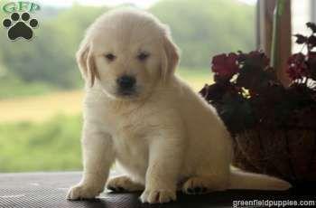 Indie, English Cream Golden Retriever puppy for sale in Millersburg, Pa
