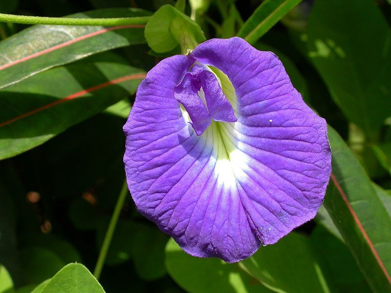 Clitoria Wikipedia Indoor Flowering Plants Flowers Plants