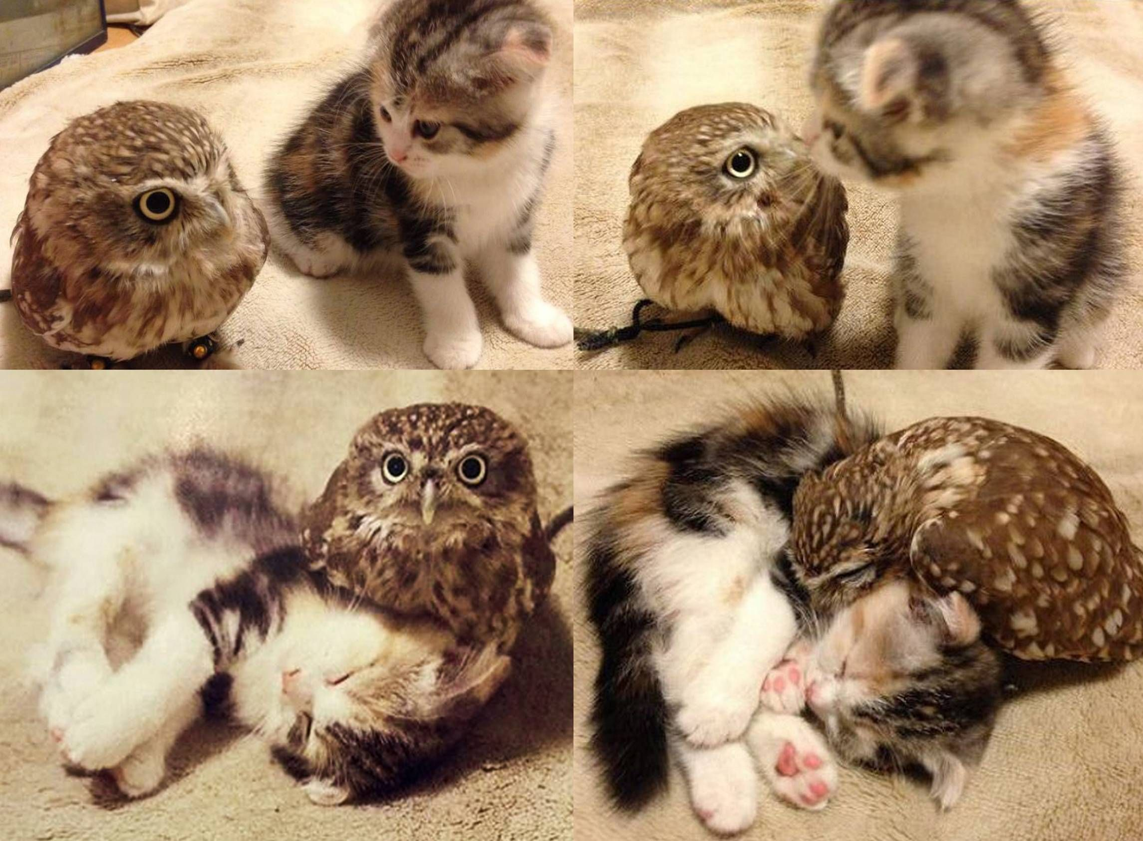 Little Owl And Baby Kitten Built An Unlikely Friendship In A Japanese Coffee Shop Imgur Kitten Pictures Cute Animals Cute Baby Animals