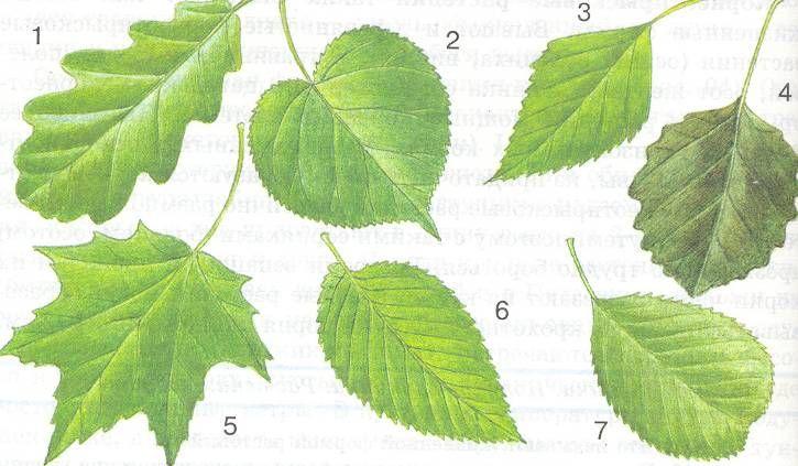 ольха. фото листьев