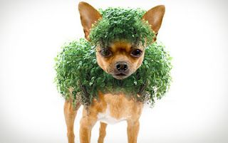 Chia Pet Chia Pet Chihuahua Love Cool Pets