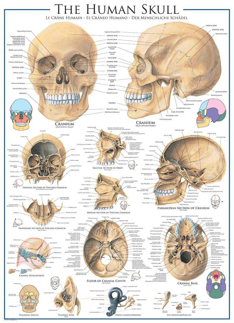 Human Skull Anatomy & Biology Jigsaw Puzzle | Puzzle | Pinterest
