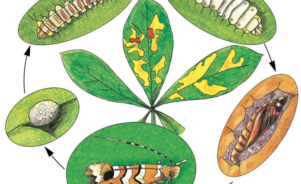 Miniermotte Der Rosskastanie Bekampfen Pflanzenblatter Pflanzenschutz Kastanien