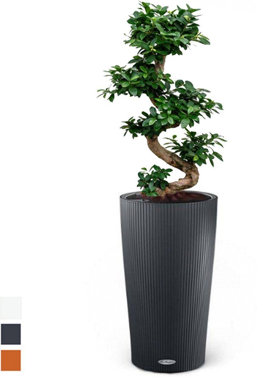 Ficus Bonsai In Zelfwatergevende Pot Ficus Bonsai Planten