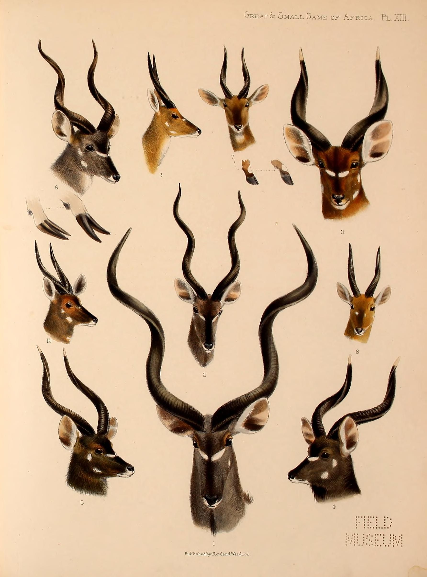 Great & Small Game of Africa from the Field Museum: 1 Greater Kudu