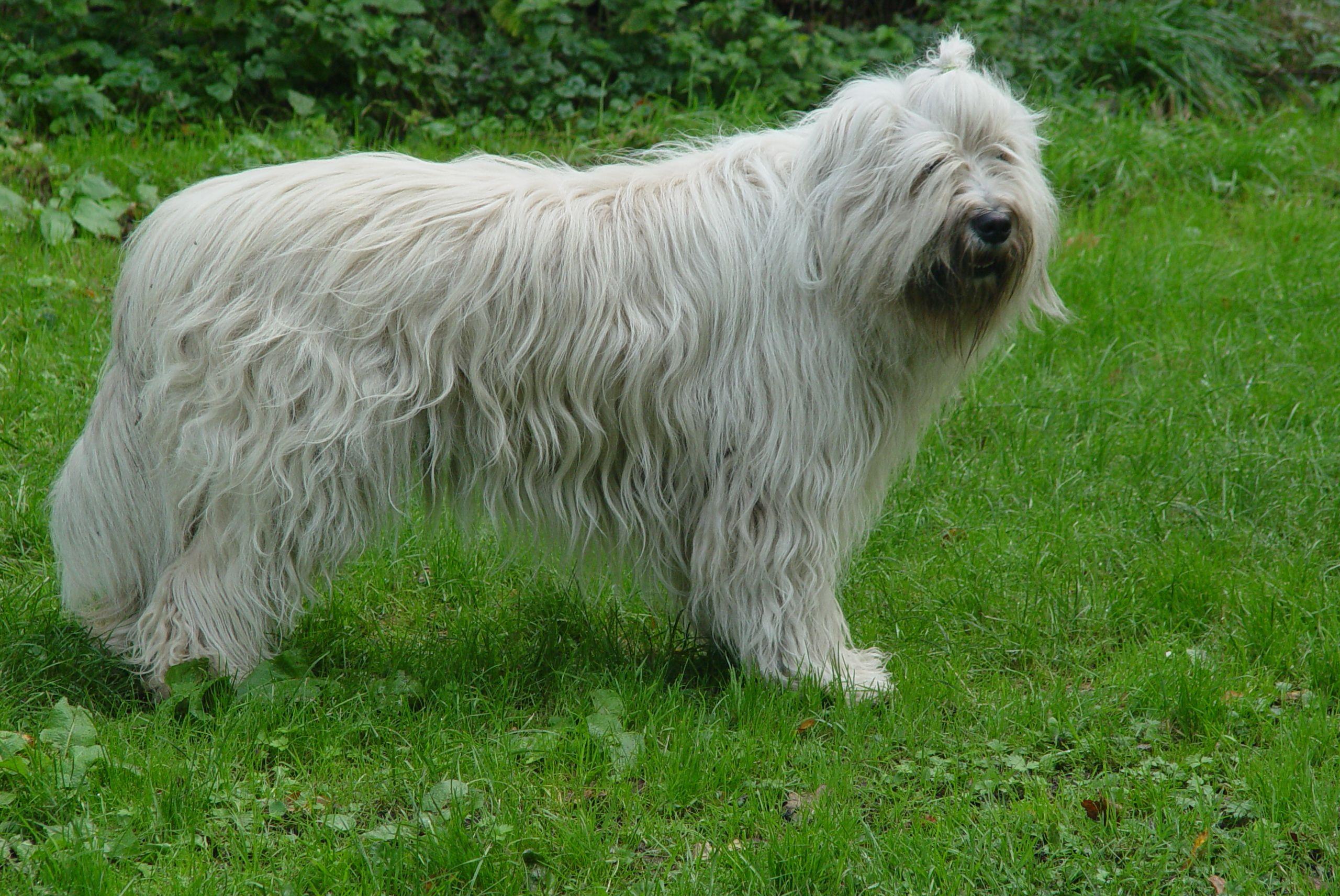 фото собак крупных лохматых пород каждым годом