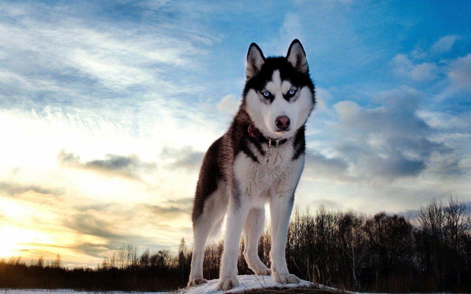 The Most Beautiful Dog In World Siberian Husky Husky Dog Names