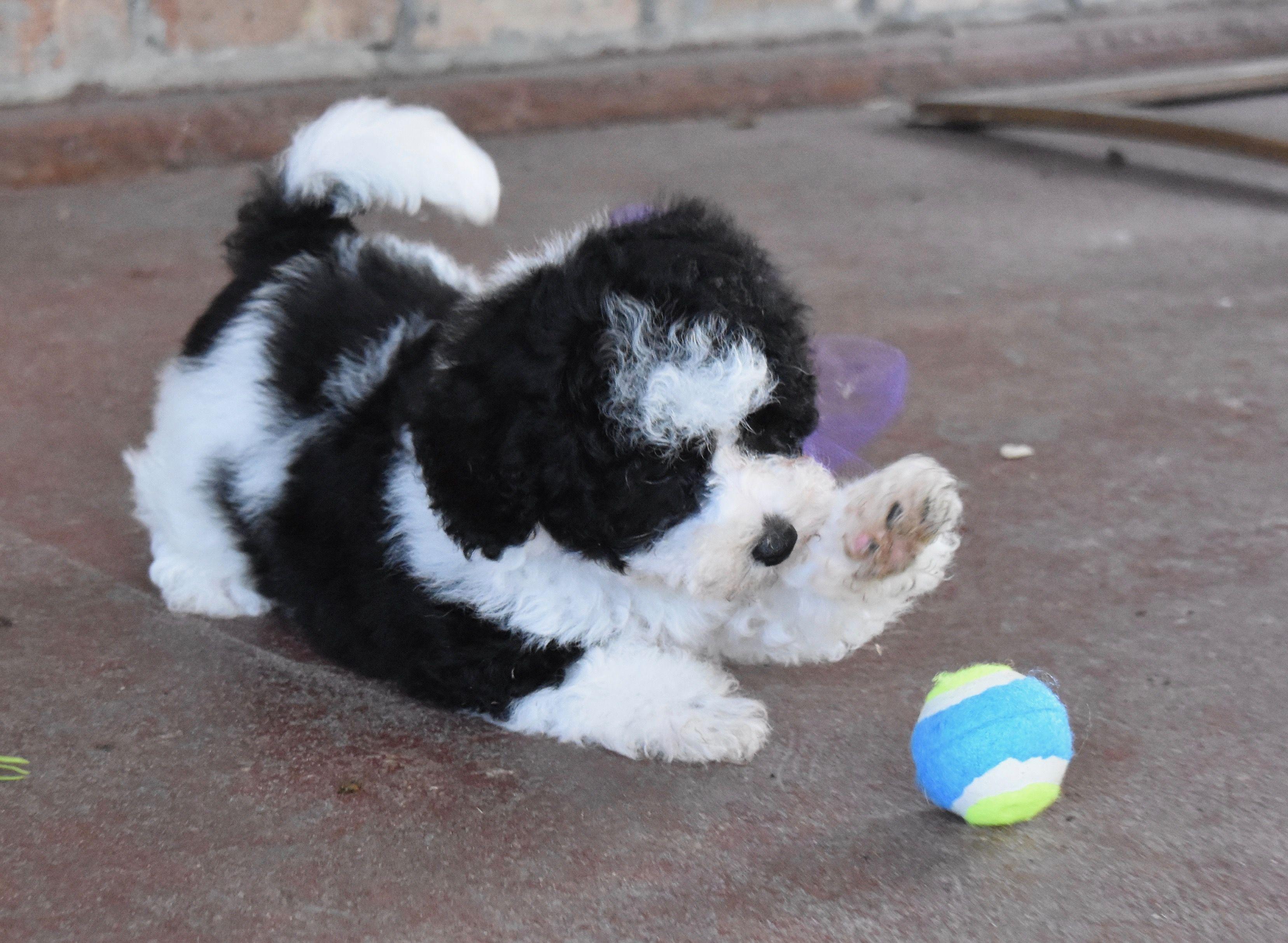 maltipoo puppies for sale in atlanta ga