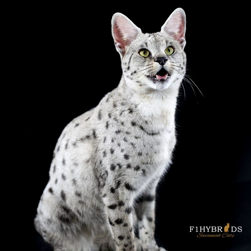 snow savannah cat Szukaj w Google Korat cat, Cats