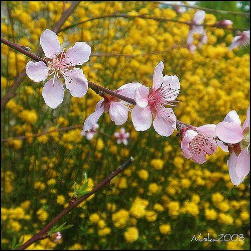 Las flores de mi melocotonero
