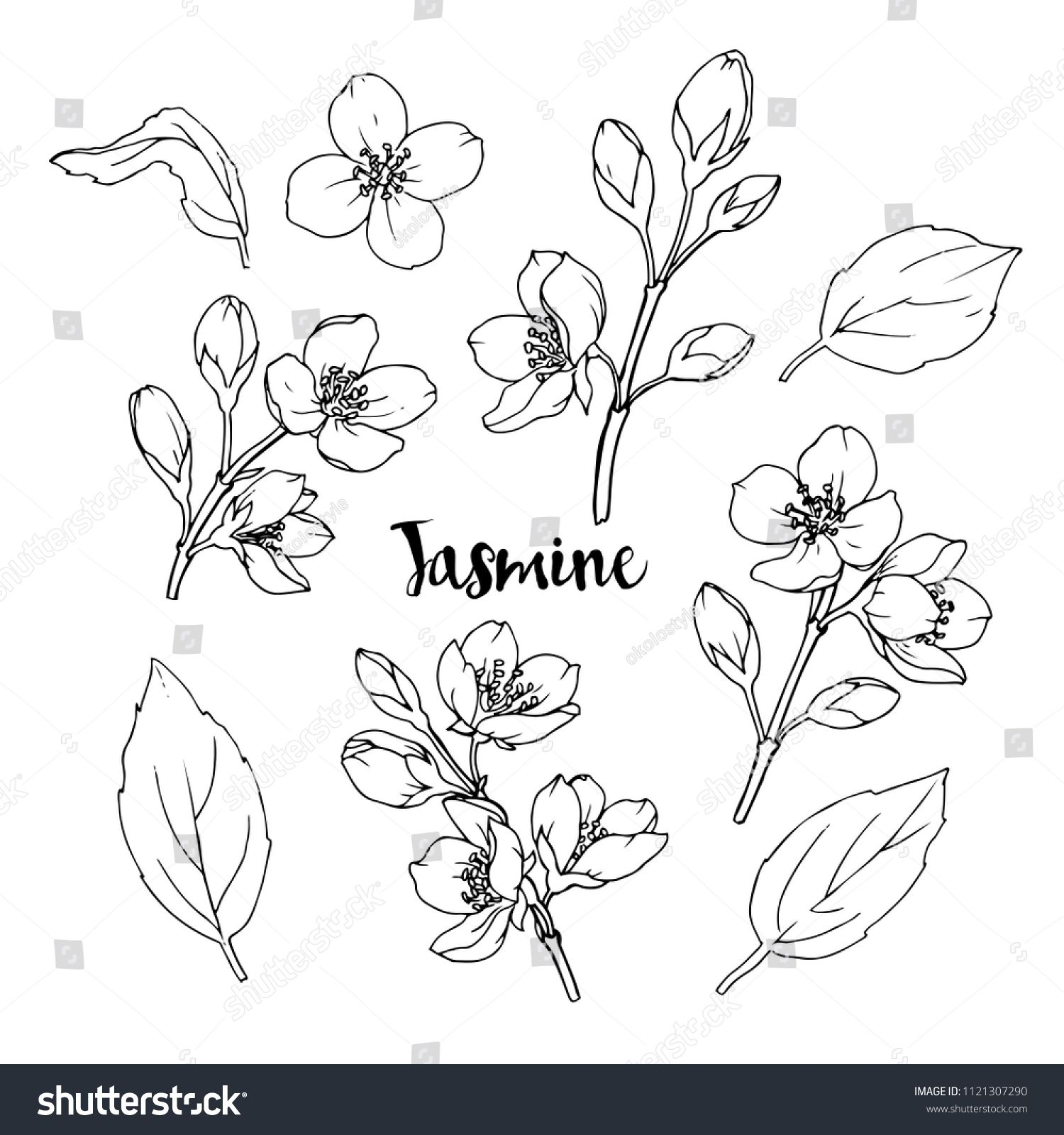Ink Pencil The Leaves And Flowers Of Jasmine Isolate Line Art