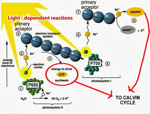 light independant reactions A tutorial video for aqa a2 biology students, detailing the calvin cycle, and melvin calvin's lollipop experiment includes an overview of the whole of photo.