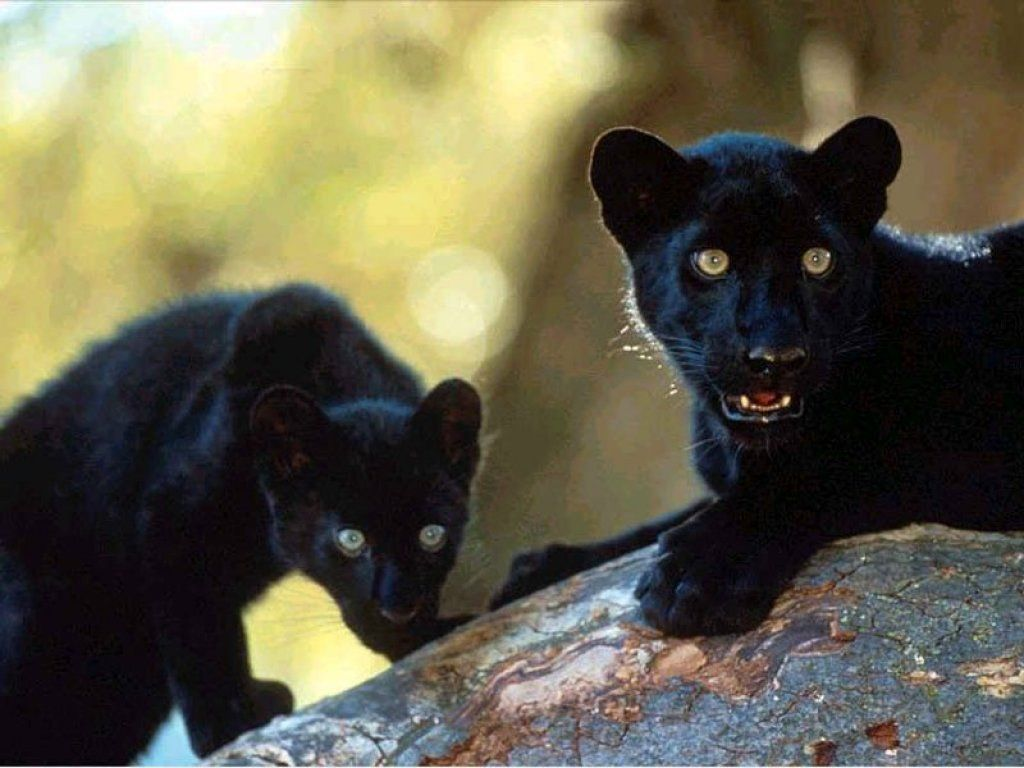BABY BLACK PANTHER GLOSSY POSTER PICTURE PHOTO PRINT cute adorable big cat 2075
