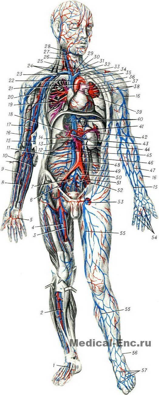 Изображение: blood_vessels_diagram_1.jpg] | вены | Pinterest | Der ...