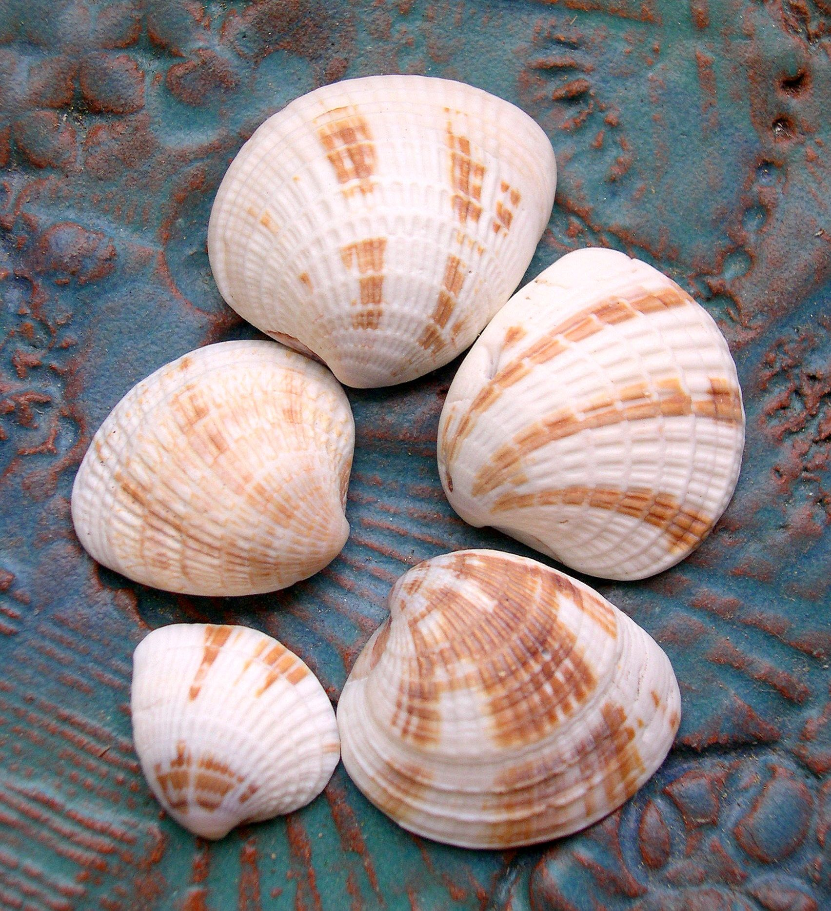 colorful pictures of seashells | Photos of the Cross-barred Venus Shell | Seashells by Millhill