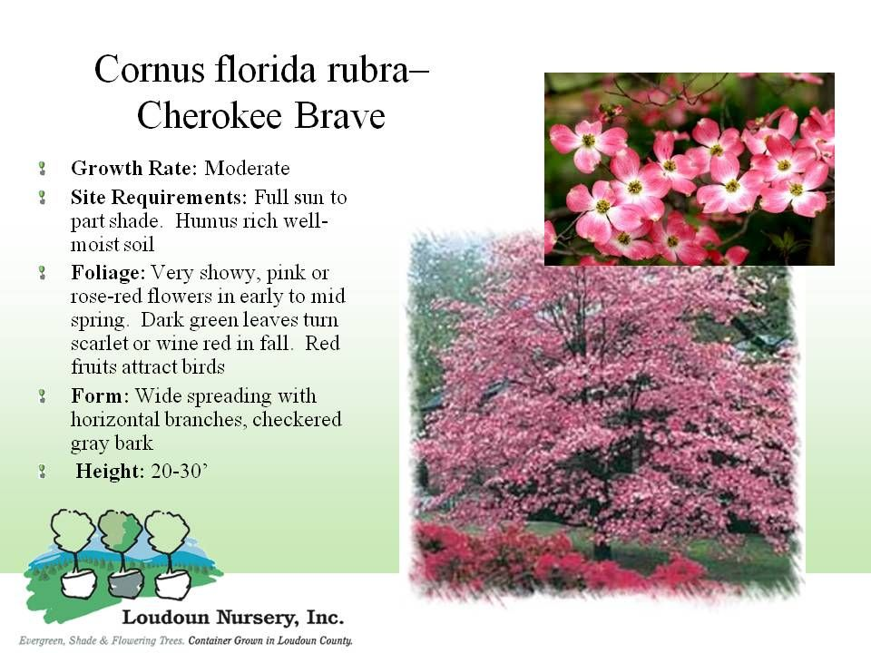 Cherokee brave red dogwood this is a beautiful pink version of cherokee brave red dogwood this is a beautiful pink version of the typical white flowering dogwoods we still consider this one to be a small tree it mightylinksfo