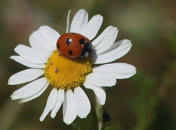 Marienkafer Im Natur Lexikon Natur Bilder Tiere