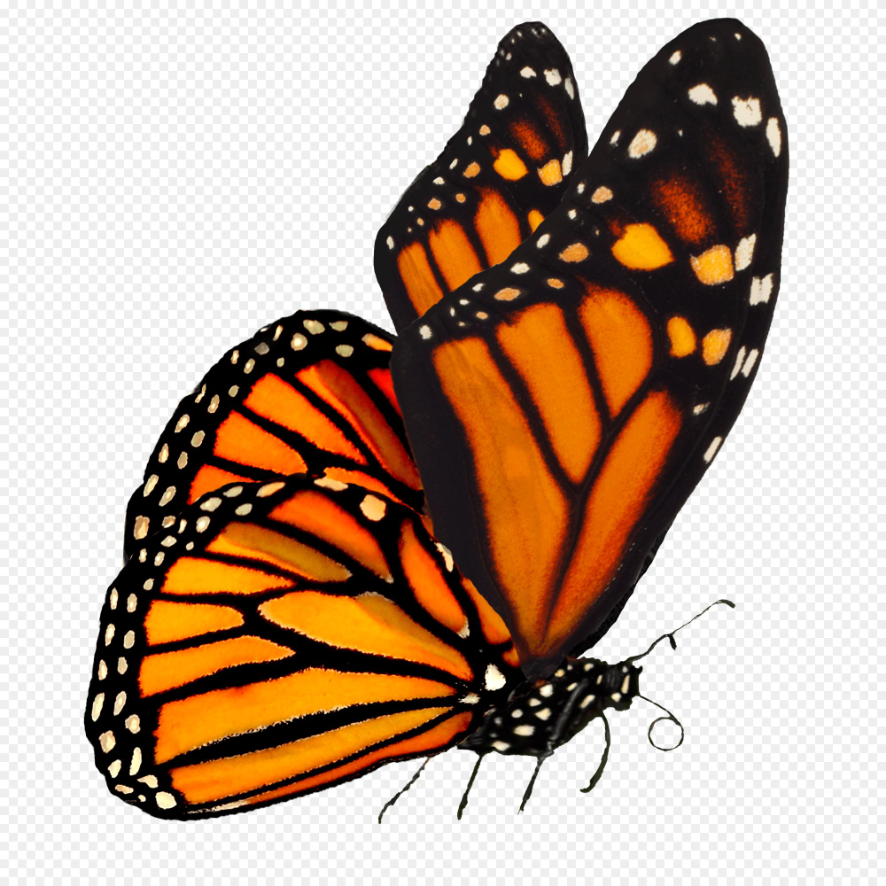 Monarch Caterpillar Png Our Academic Journey The College School 2000 2000 Png Download Free Transparent Bac Monarch Butterfly Monarch Caterpillar Monarch