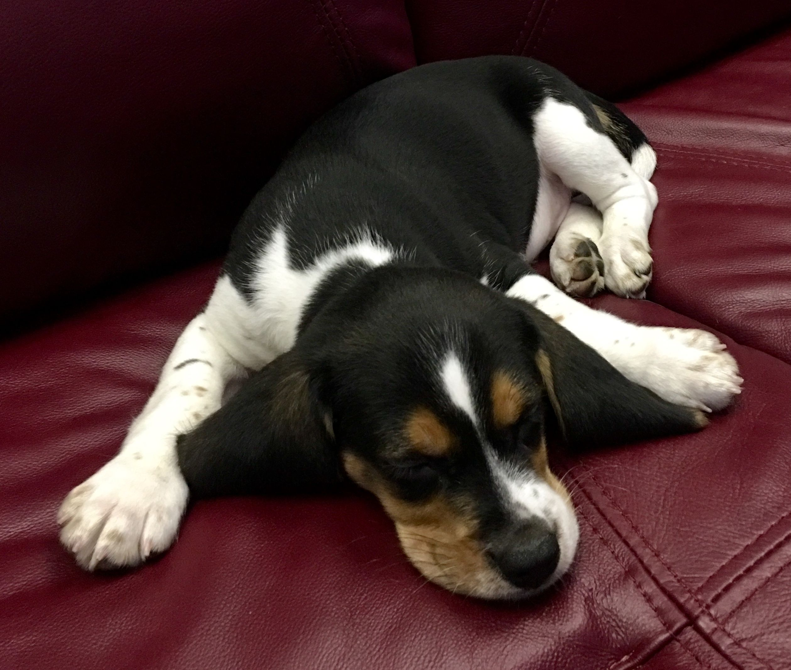 Beagle Puppies For Sale In Delhi Beagle Breeders Rottweiler