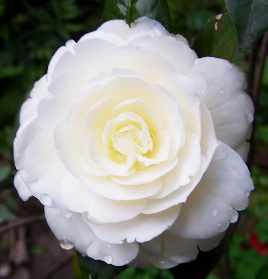 If You Want A Real Flower You Probably Can T Go Wrong With A Camellia Which Are Beautiful And Simple Description From Camellia Flower White Camellia Flowers