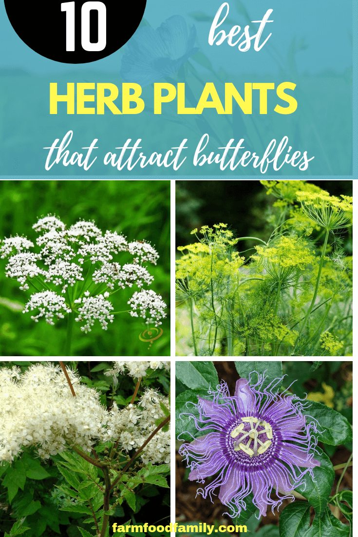 20 Best Flowers & Herbs That Attract Butterflies  FarmFoodFamily is part of Apple garden Photography - Grow your own butterfly habitat! Learn how to attract butterflies to your garden with echinacea, verbena, and other butterfly attracting plants