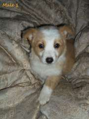 Purebred Wheaten White Border Collie Puppies Border Collie