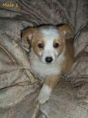 Purebred Wheaten White Border Collie Puppies Border Collie Puppies Www Pups4sale Com Au Border Collie Puppies Collie Puppies White Border Collie