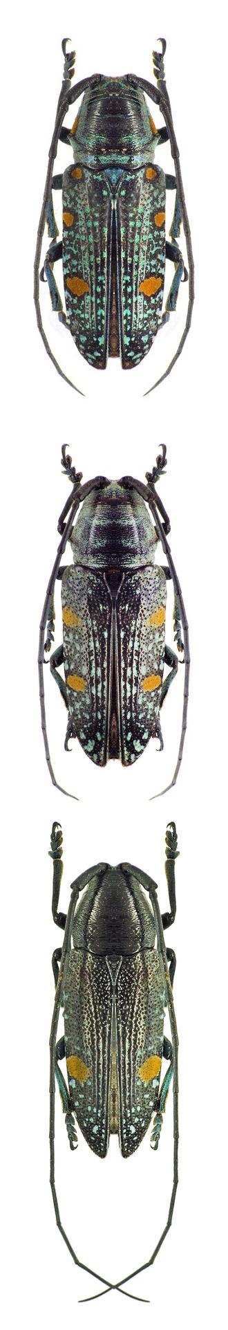 Pinacosterna nachtigali trimaculata;  Pinacosterna nachtigali smithi;  Pinacosterna nachtigali uniocellata