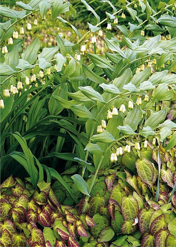 Kokoryczka Wielokwiatowa Polygonatum Multiflorum Plants Garden Flowers