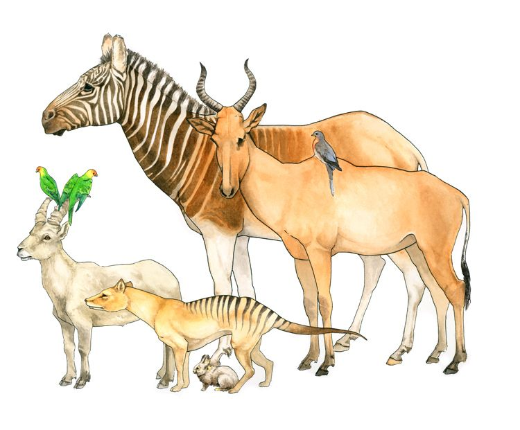 Lucy Conklin  This illustration depicts a gathering of endlings: creatures that are the last of their kind. From top to bottom - Quagga, Bubal Hartebeest, Martha the passenger pigeon, Incas and Lady Jane, the last Carolina parakeets, Celia the Pyrenean ibex, Benjamin the Thylacine, Bryn the pygmy rabbit (of the Columbia river basin population, which has recently been re-discovered)  #animals #naturalscience #medical #illustration #SciArt #watercolor