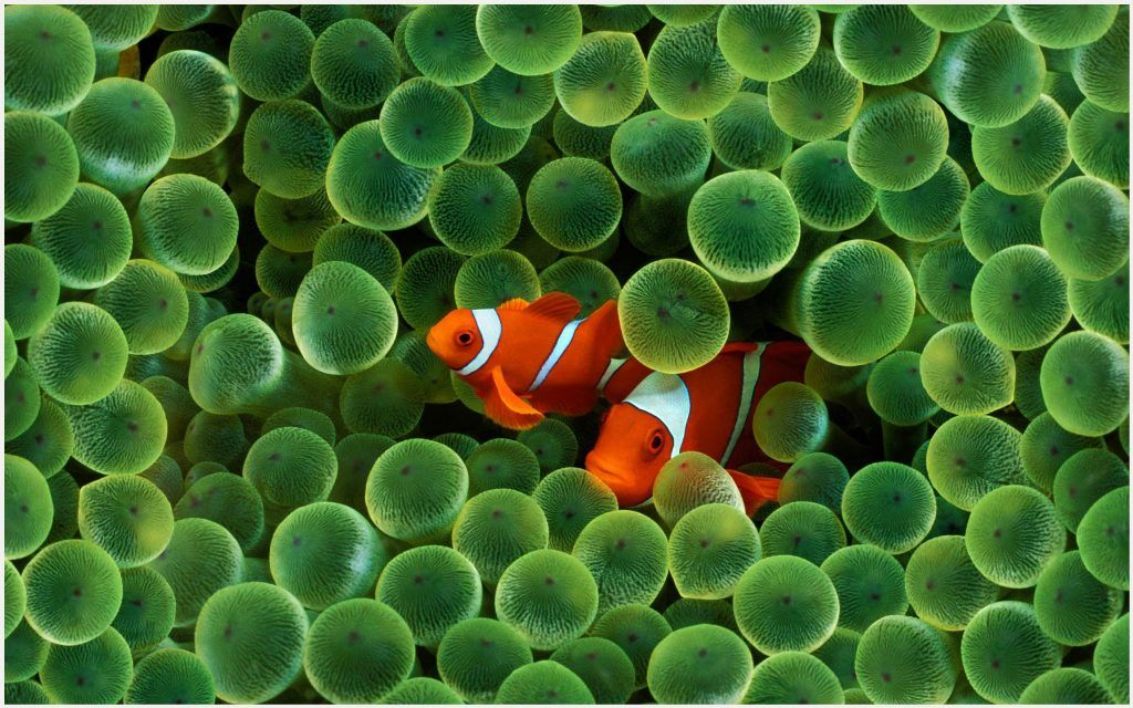 Clown Fish Wallpaper Apple Clown Fish Wallpaper Hd Clown