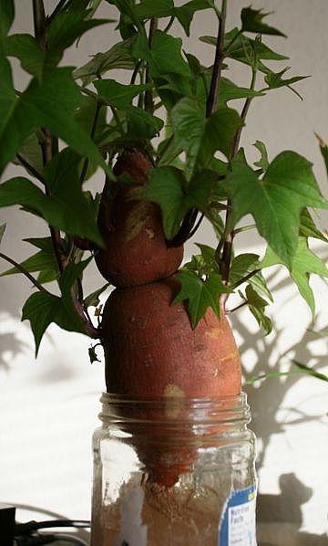 How To Grow A Sweet Potato Into A Houseplant Growing Sweet