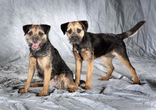 Leema Border Terriers Border Terrier Breeders In South Australia
