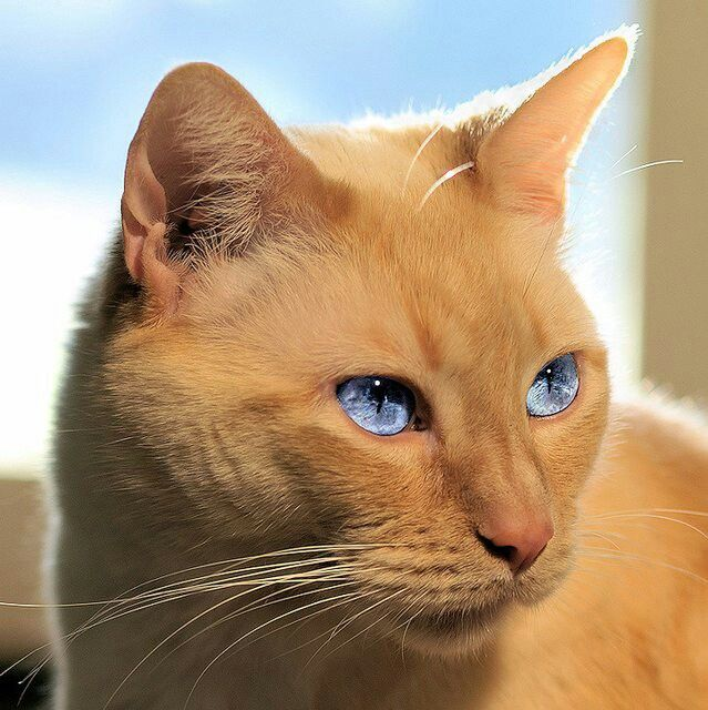 Ginger Gorgeous Cats Cute Cats And Dogs Cats