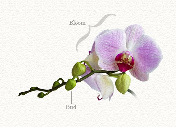 Growing Orchids Anatomy Terms Growing Orchids Phalaenopsis Orchid Care Orchid Flower