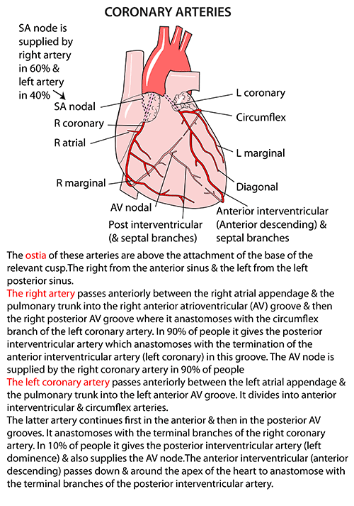 Instant Anatomy - Thorax - Areas/Organs - Heart - Coronary arteries ...
