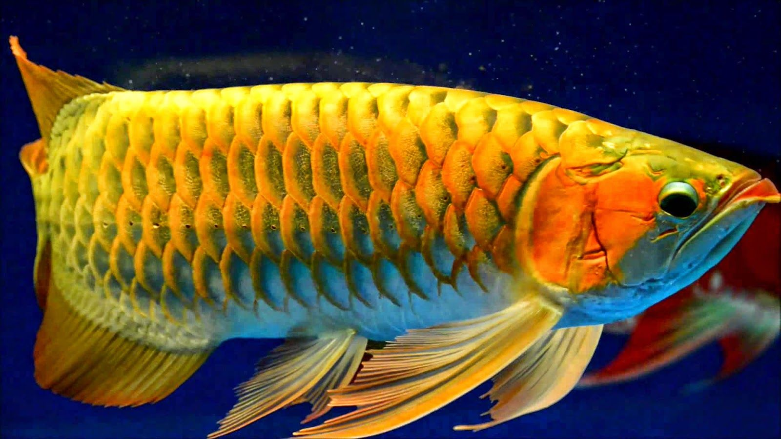 Golden Arowana | Doanhatao Arowana Gold Arowana Pinterest Gold Fish And
