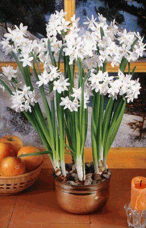 Amazon Com 10 Ziva Paperwhite Flower Bulbs Patio Lawn Garden Flores