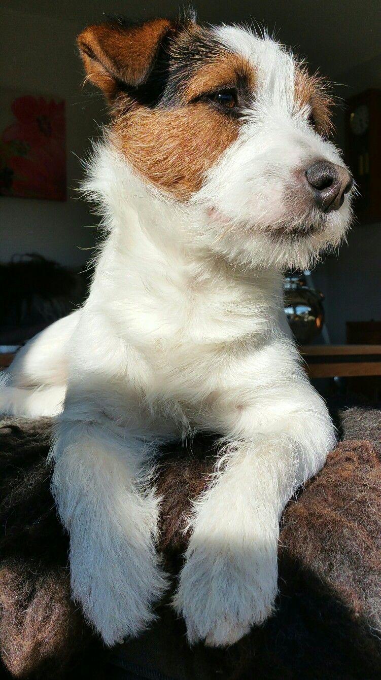 Parson Russell Terrier Prt Cute Pretty Idiosyncratic D Parson Russell Terrier Prt Nied In 2020 Jack Russell Terrier Puppies Jack Russell Terrier Jack Russell
