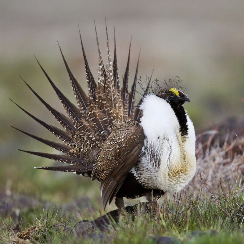 Sage grouse or grouse wormwood, (Centrocercus urophasianus)