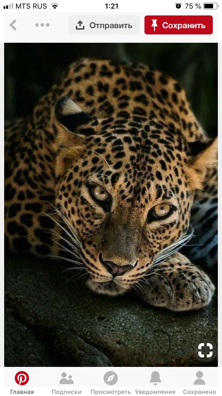 Обои африка, охота, сафари, Кошка, леопард. Кошки foto 4