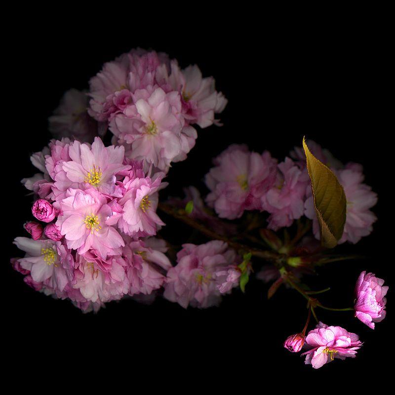 Sakura Rescued Cherry Blossom Cherry Blossom Blossom Beautiful Flowers