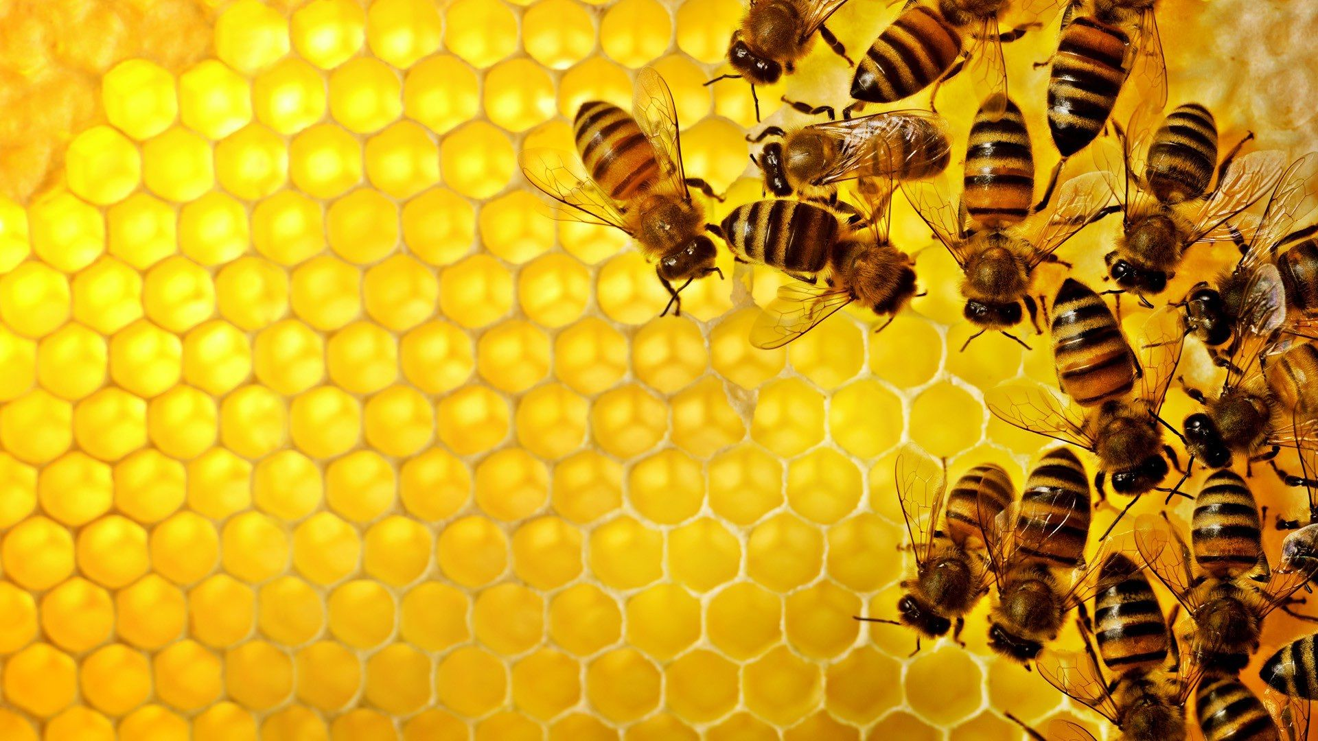 Bee Wallpapers Desktop Hd Pictures 3 Jpg 1920 1080 Bee Propolis National Honey Month Bee