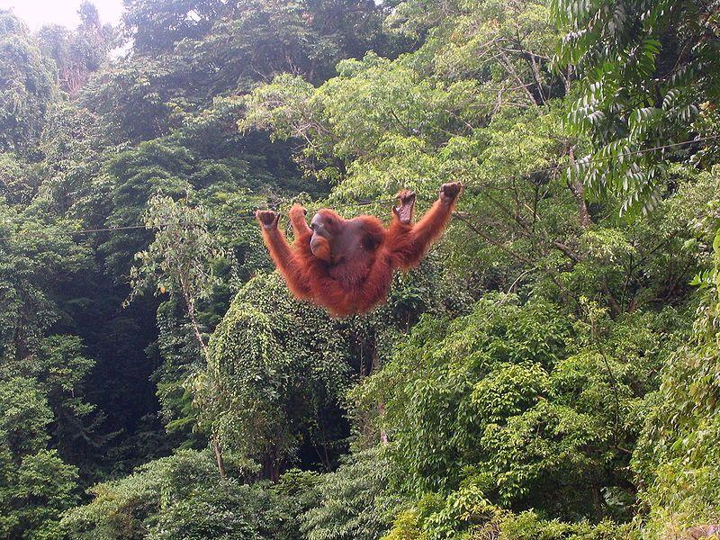 Orang-Utan In Bukit Lawang, North Sumatra