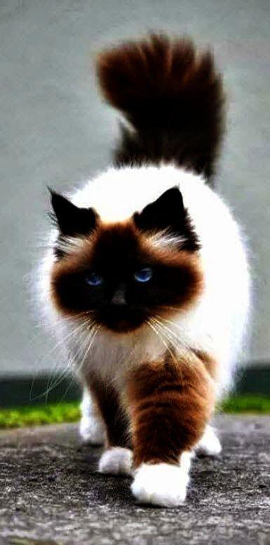 Now That S Trendy Beautiful Cats Wallpaper Hd Pinterest Cute Cat Breeds Beautiful Cats Cute Animals