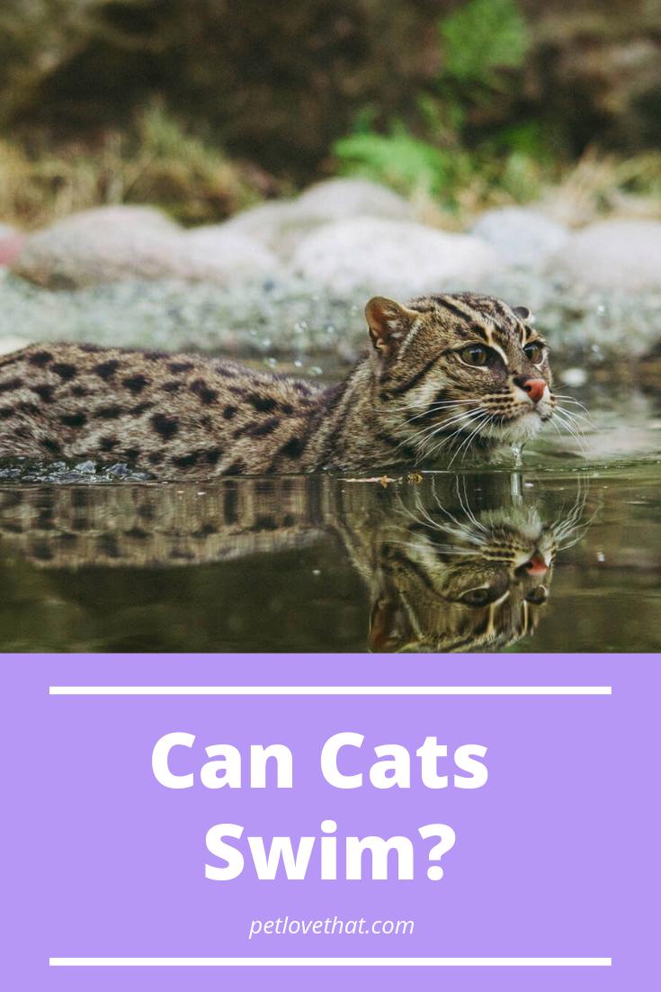 Can Cats Swim Cat questions, Cats, Cat behavior
