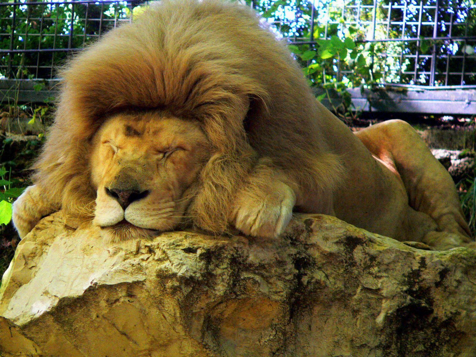 Zoo de Beauval - Lion 24